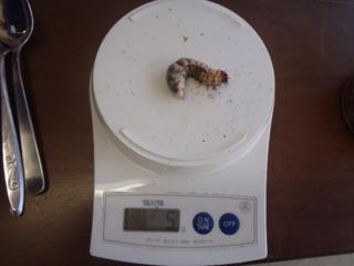幼虫1.png